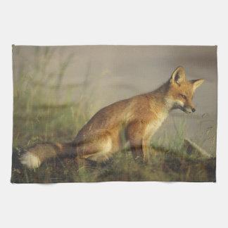 Canada, Quebec. Red fox cub at sunrise. Credit Hand Towels