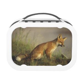 Canada, Quebec. Red fox cub at sunrise. Credit Yubo Lunch Box