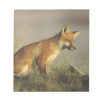 Canada, Quebec. Red fox cub at sunrise. Credit Notepad