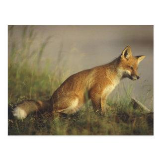 Canada, Quebec. Red fox cub at sunrise. Credit Postcard