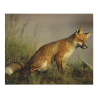 Canada, Quebec. Red fox cub at sunrise. Credit Posters