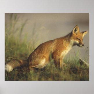 Canada, Quebec. Red fox cub at sunrise. Credit Poster