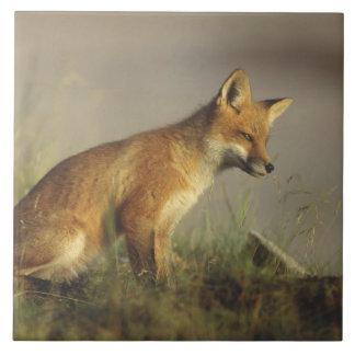 Canada, Quebec. Red fox cub at sunrise. Credit Tiles