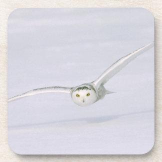 Canada, Quebec. Snowy owl flies low over snow. Beverage Coasters