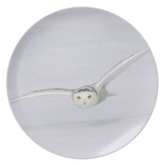 Canada, Quebec. Snowy owl flies low over snow. Dinner Plate