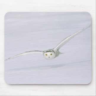 Canada, Quebec. Snowy owl flies low over snow. Mouse Pad