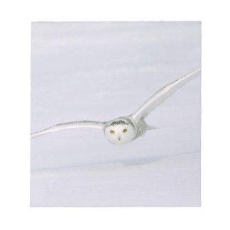 Canada, Quebec. Snowy owl flies low over snow. Memo Notepads