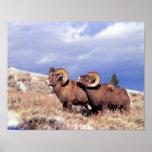Canadensis del Ovis de dos espolones del carnero c Impresiones