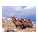 Canadensis del Ovis de dos espolones del carnero c Tarjetas Postales