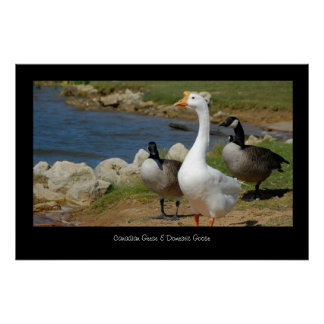 Canadian & Domestic Geese Poster Print