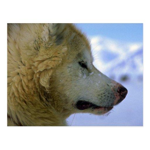 Canadian Eskimo sled dog Postcard
