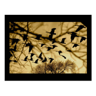 Canadian Geese at Sunset Postcards