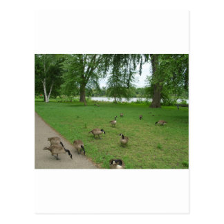 Canadian Geese by the Lake during Summer Post Cards