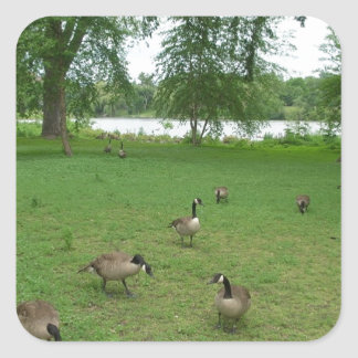 Canadian Geese by the Lake during Summer Square Sticker