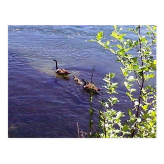 Canadian Geese Family Post Card