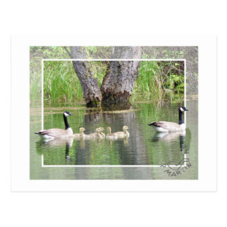 Canadian Geese Family Postcard