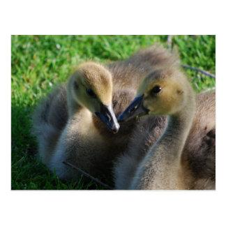 Canadian Geese Goslings Postcard