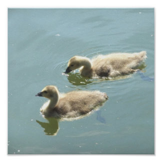 Canadian Geese Goslings Swimming Poster