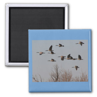Canadian Geese in Flight II 2 Inch Square Magnet