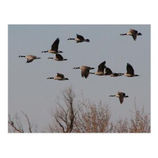Canadian Geese in Flight II Post Card