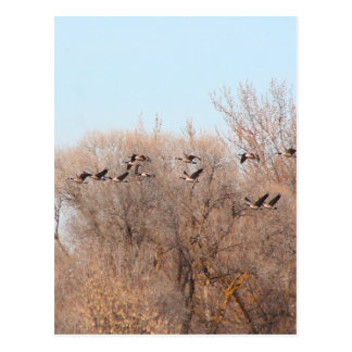 Canadian Geese in Flight Post Cards