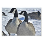 Canadian Geese in Winter Photo