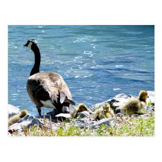 Canadian Geese (Mom and Babes) Postcard
