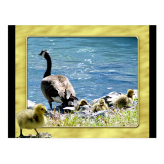 Canadian Geese (Mom and Babes) Postcard 2