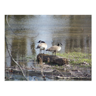 Canadian Geese on a Log Post Cards