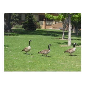Canadian Geese on the Grass Postcard