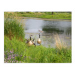 Canadian Geese Painting Postcard