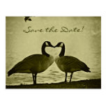 Canadian Geese Photo Postcard