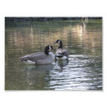Canadian Geese Photograph