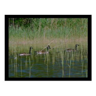 Canadian Geese Post Card