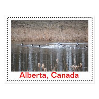 Canadian Geese Postcard Horizontal