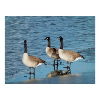 Canadian Geese print