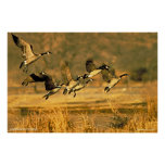 Canadian Geese Posters