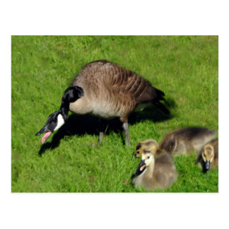 Canadian Geese With Mother 1 Postcards