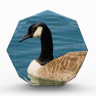 Canadian Goose - Branta canadensis Award