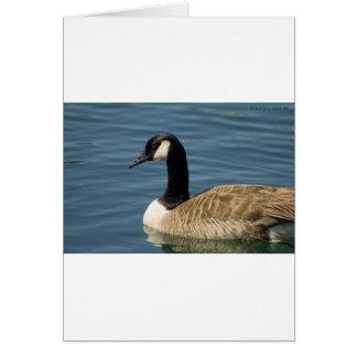Canadian Goose - Branta canadensis Cards