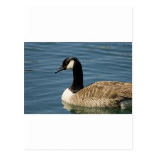 Canadian Goose - Branta canadensis Postcard