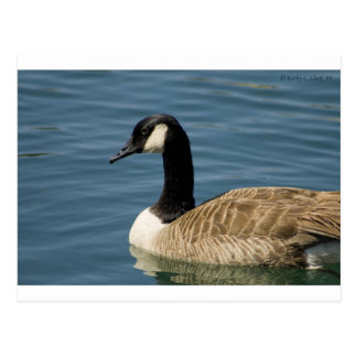 Canadian Goose - Branta canadensis Post Cards
