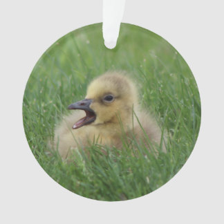 Canadian Goose Chick