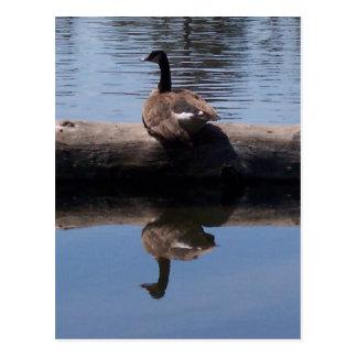 Canadian Goose Postcards