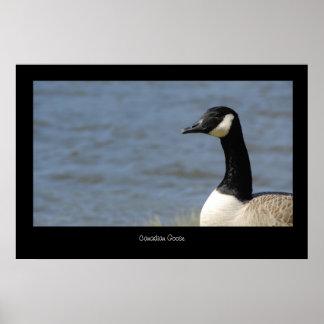 Canadian Goose Poster Print