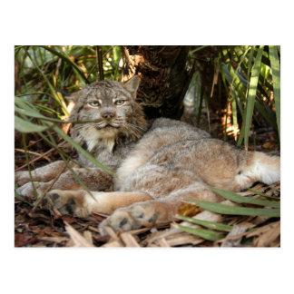 Canadian Lynx 0339e Postcard