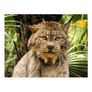 Canadian Lynx 4200e Postcard