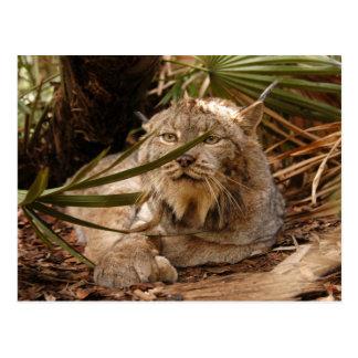 Canadian Lynx 4208 Postcard