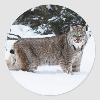 Canadian Lynx in the Snow Classic Round Sticker