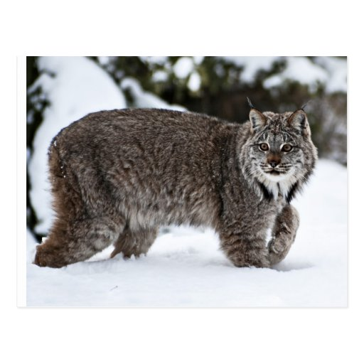 Canadian Lynx in the Snow Post Cards